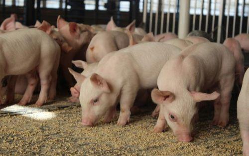 Productores porcinos reclaman aportes patronales